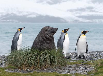 Seals_Fur_King_King Haakon Bay-1