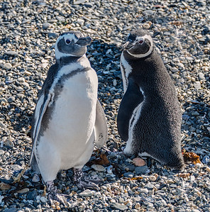 Penguins_Magellen_Ushuaia-1