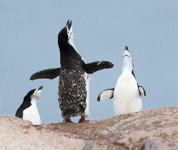 Penguins_Chinstrap_Hydrurga Rocks_Antarctica-5
