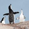 Penguins_Chinstrap_Hydrurga Rocks_Antarctica-5