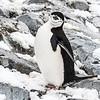Penguins_Chinstrap_Hydrurga Rocks_Antarctica-19