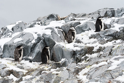 Penguins_Chinstrap_Hydrurga Rocks_Antarctica-1