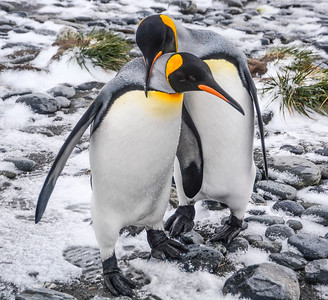 Penguins_King_J-2