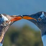 Penguins_Gentu_Ushuaia-12