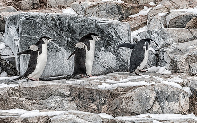 Penguins_Chinstrap_Hydrurga Rocks_Antarctica-3