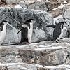 Penguins_Chinstrap_Hydrurga Rocks_Antarctica-3
