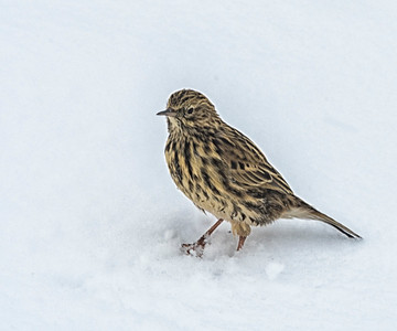Pipit_Fortuna_South Georgia-2