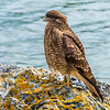 Tierra del Fuego_Birds-1