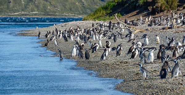 Penguins_Gentu_Ushuaia-2