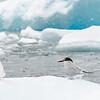 Arctic Terns_Cierva Cove_Antarctic Sound-2