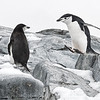 Penguins_Chinstrap_Hydrurga Rocks_Antarctica-9