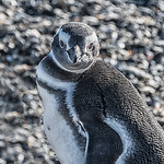 Penguins_Magellen_Ushuaia-6