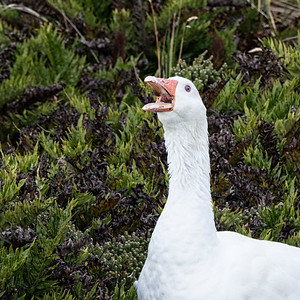 Goose_Falkland Islands-1