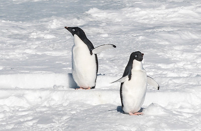 Penguins_Adelie_AntarcticSound-1