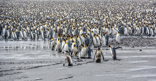 Penguins_King_J-1
