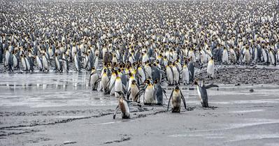 Penguins_King_J-1