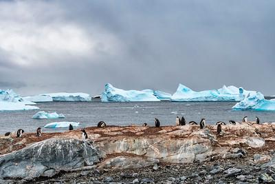 Penguins_Gentu_Cuverville Island_Antarctic Peninsula-2