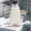 Penguins_Chinstrap_Hydrurga Rocks_Antarctica-8