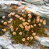 Tierra del Fuego_Flowers-2