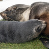 Seals_Fur_Grytviken_South Georgia-3