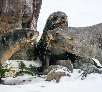Seals_Fur_J-4