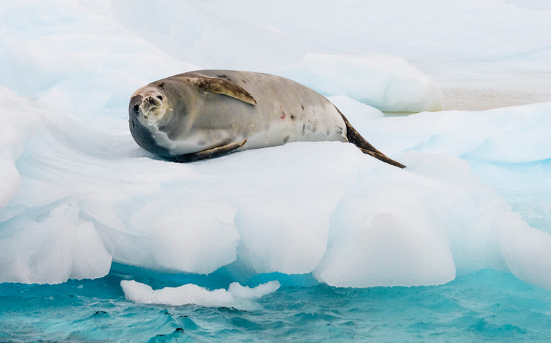 Seals_Crabeater_Cuverville Island_Antarctic Peninsula (2)