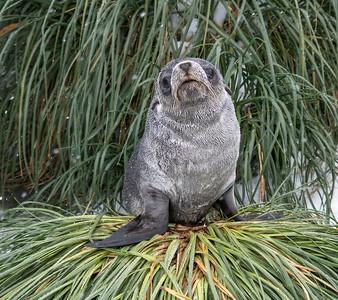 Seals_Fur_Fortuna_South Georgia-2