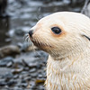 Seals_Fur_Stromness_South Georgia-5