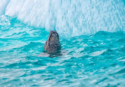 Seals_Crabeater_Cuverville Island_Antarctic Peninsula (1)