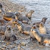 Seals_Fur_Stromness_South Georgia-7