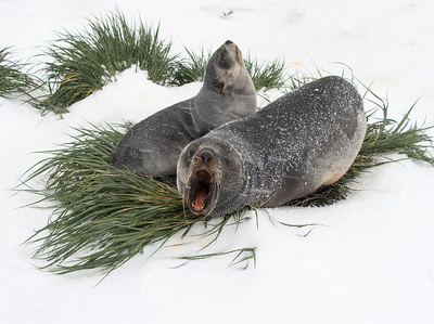 Seals_Fur_Grytviken_South Georgia-1