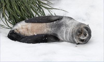 Seals_Fur_Fortuna_South Georgia-8