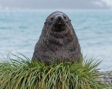 Seals_Fur_King_King Haakon Bay-2