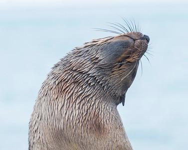 Seals_Fur_King_King Haakon Bay-4