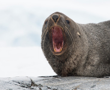 Seals_Fur_Hydrurga Rocks_Antarctica-2