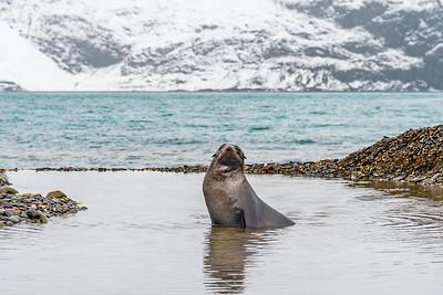 Seals_Fur_King_King Haakon Bay-3