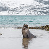 Seals_Fur_King_King Haakon Bay-3