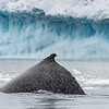 CiervaCove_Antarctic Peninsula_HumpbackWhales-2