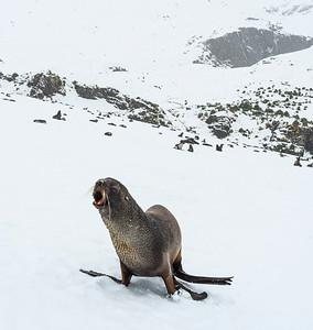 Seals_Fur_Fortuna_South Georgia-3