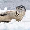 Seals_Leopard_Cierva Cove_Antarctic Peninsula-2