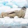 Seals_Leopard_CiervaCove_Antarctic Peninsula-1