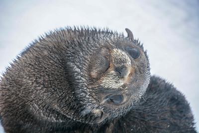Seals_Fur_J-2
