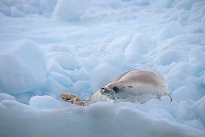 Seals_Crabeater_Paradise Harbor_Antarctica-4