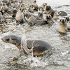 Seals_Fur_Stromness_South Georgia-10