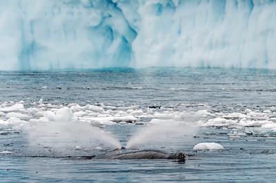 CiervaCove_Antarctic Peninsula_HumpbackWhales-1