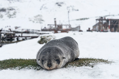 Seals_Fur_Grytviken_South Georgia-2