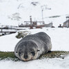 Seals_Fur_Grytviken_South Georgia-2