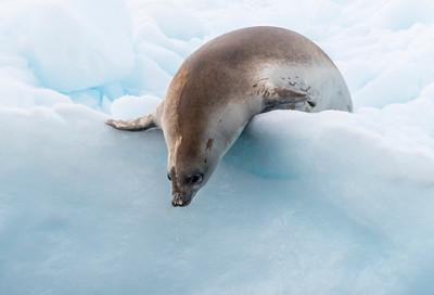 Seals_Crabeater_Paradise Harbor_Antarctica-5