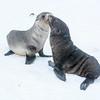 Seals_Fur-5