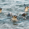 Seals_Fur_Stromness_South Georgia-12